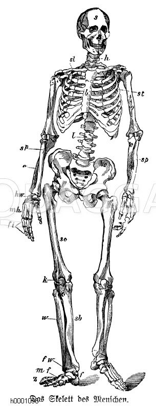 Mensch: Skelett Zeichnung/Illustration