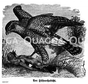 Hühnerhabicht Zeichnung/Illustration
