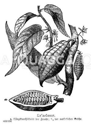 Kakaobaum Zeichnung/Illustration