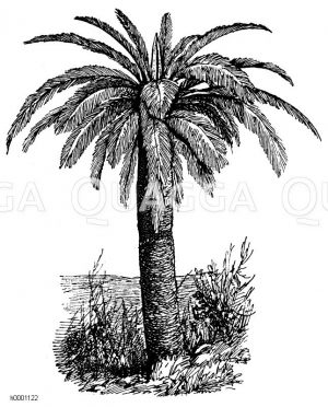 Palmfarn Zeichnung/Illustration