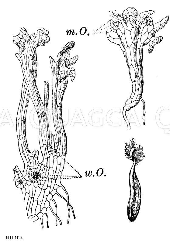 Ackerschachtelhalm: Vorkeim Zeichnung/Illustration