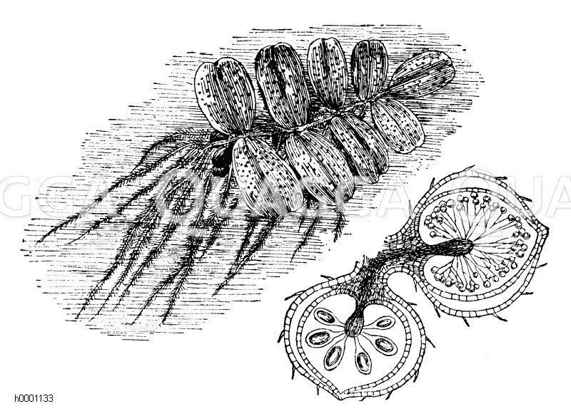 Schwimmblatt Zeichnung/Illustration