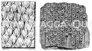 Fossiler Schuppenbaum