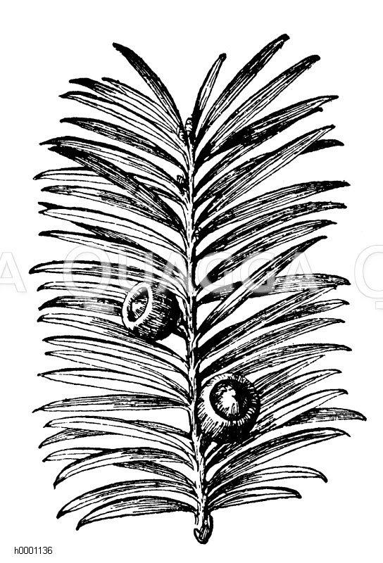 Eibe Zeichnung/Illustration