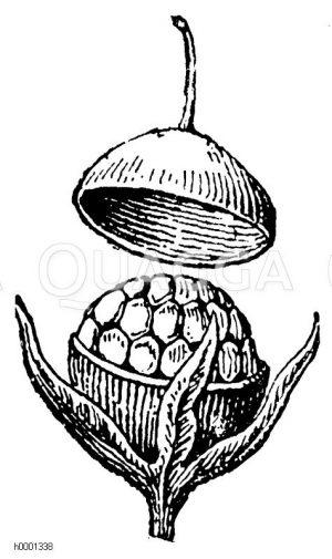 Ackergauchheil: Geöffnete Frucht Zeichnung/Illustration