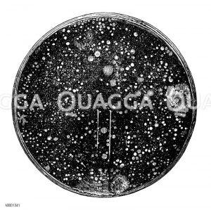 Bakterienkolonien Zeichnung/Illustration