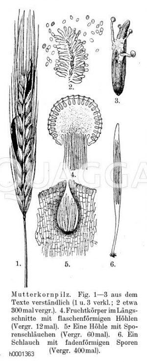 Mutterkorn Zeichnung/Illustration