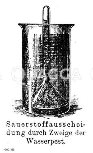 Kanadische Wasserpest: Sauerstoffausscheidung durch Zweige Zeichnung/Illustration