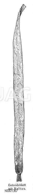 Getreideblatt mit Mehltau Zeichnung/Illustration