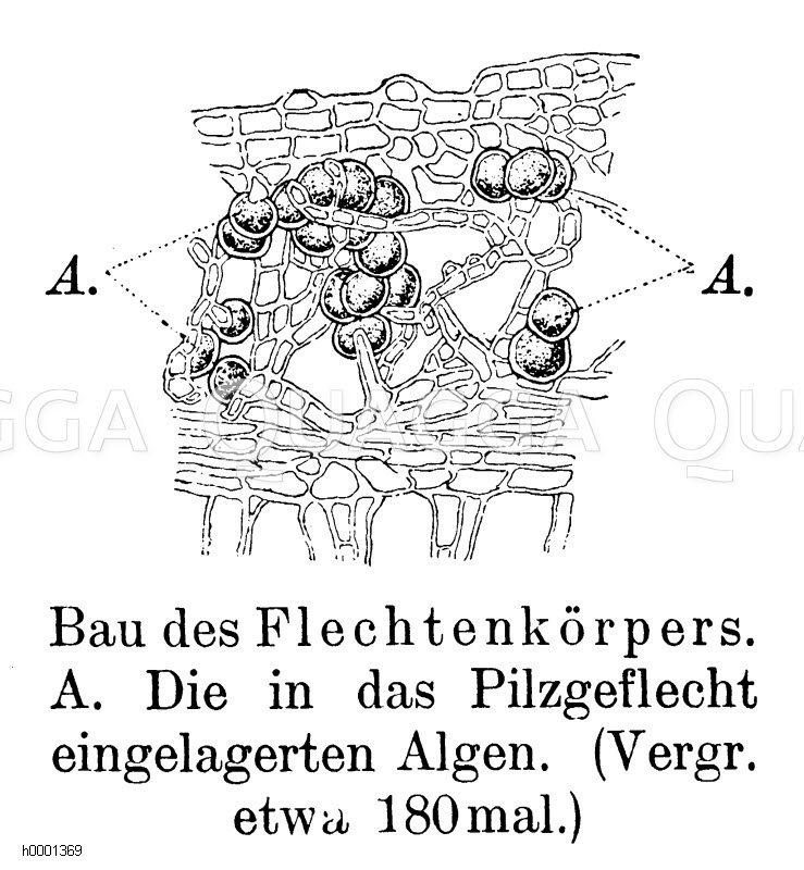 Bau des Flechtenkörpers Zeichnung/Illustration