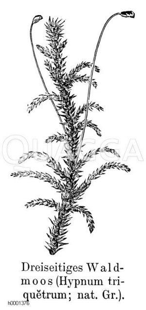 Dreiseitiges Waldmoos Zeichnung/Illustration