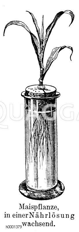Maispflanze in Nährlösung Zeichnung/Illustration