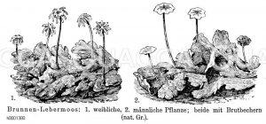 Brunnenlebermoos Zeichnung/Illustration
