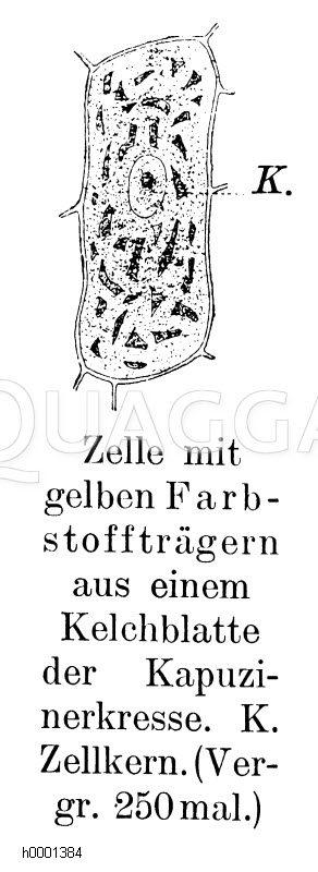 Pflanzenzelle mit Chlorophyll Zeichnung/Illustration