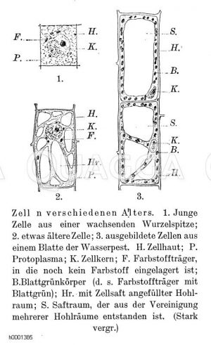Pflanzenzellen verschiedenen Alters Zeichnung/Illustration