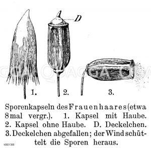 Frauenhaar: Sporenkapsel Zeichnung/Illustration