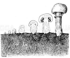 Champignon: Entwicklung Zeichnung/Illustration