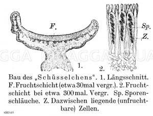 Schüsselflechte Zeichnung/Illustration