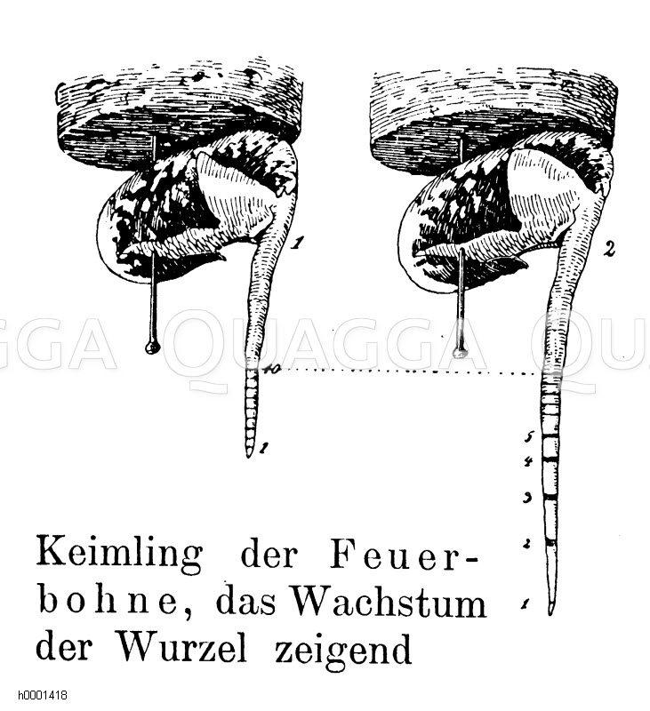 Feuerbohnenkeimling Zeichnung/Illustration