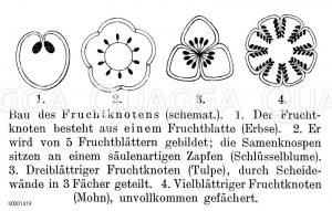 Fruchtknoten