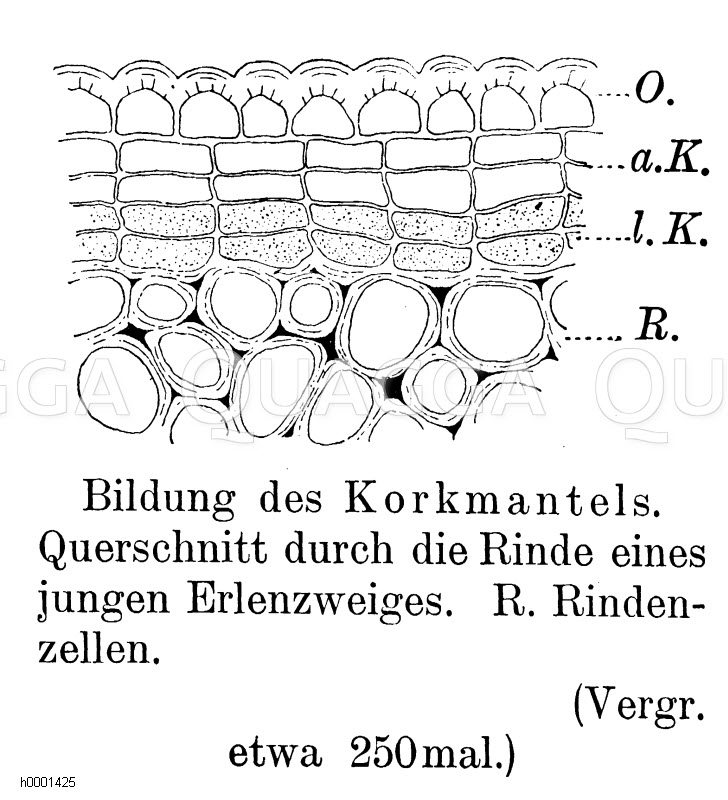 Korkmantel Zeichnung/Illustration