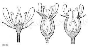 Blüte: Stellung des Fruchtknotens Zeichnung/Illustration