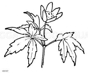 Anemone Zeichnung/Illustration
