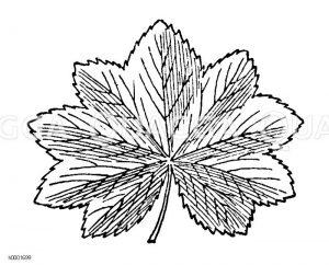 Frauenmantel: Blatt Zeichnung/Illustration
