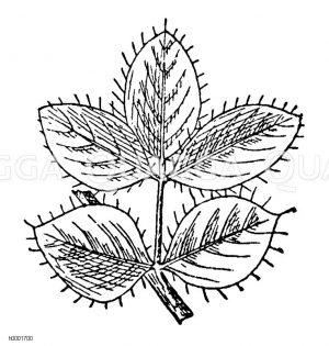 Hornklee: Blatt Zeichnung/Illustration