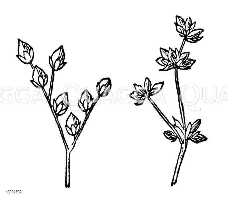 Binse Zeichnung/Illustration