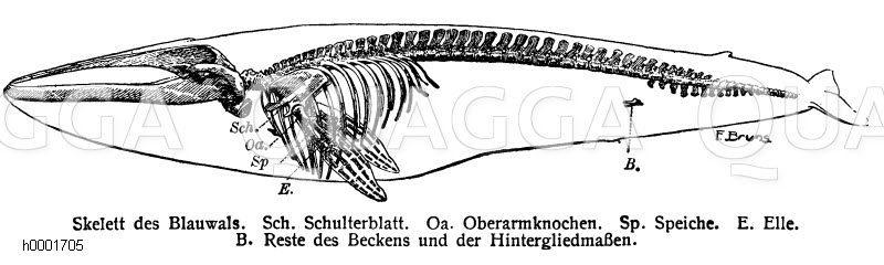 Skelett des Blauwals Zeichnung/Illustration