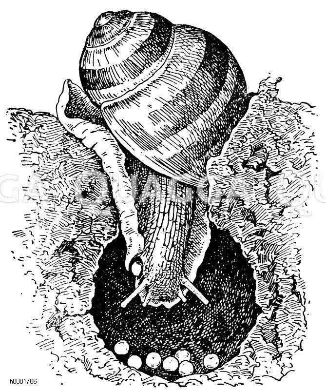 Eierlegende Weinbergschnecke Zeichnung/Illustration
