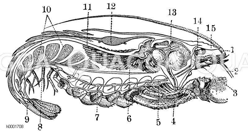 Längschnitt durch einen Flusskrebs Zeichnung/Illustration