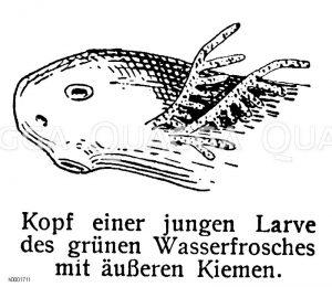 Kopf einer jungen Larve des grünen Wasserfrosches Zeichnung/Illustration