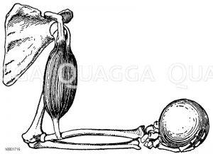 Mensch: Arm mit gebeugtem Unterarm Zeichnung/Illustration