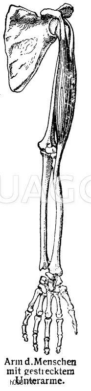 Mensch: Arm Zeichnung/Illustration