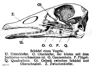 Vogelschädel Zeichnung/Illustration