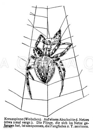 Kreuzspinne: Weibchen Zeichnung/Illustration