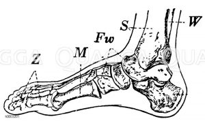 Knochengerüst des menschlichen Fußes Zeichnung/Illustration