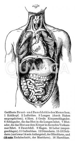Brust- und Bauchhöhle des Menschen Zeichnung/Illustration