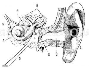 Bau des menschlichen Ohres Zeichnung/Illustration