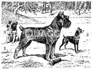 Hund: Schnauzer (Mitte)
