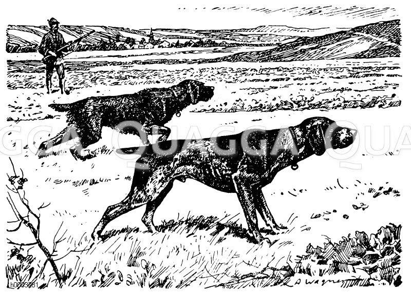Haushund: Vorstehhunde