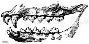 Seehund: Gebiss Zeichnung/Illustration