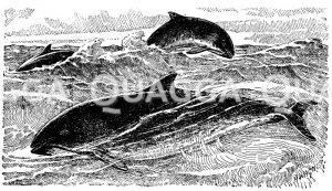 Braunfisch Zeichnung/Illustration