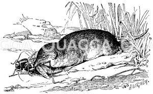 Waldspitzmaus Zeichnung/Illustration