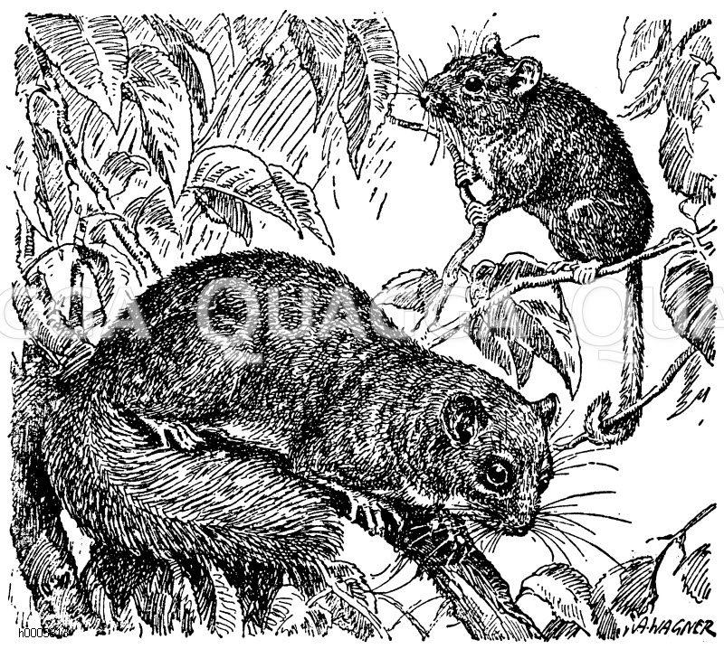 Haselmaus (rechts) und Siebenschläfer (links) Zeichnung/Illustration