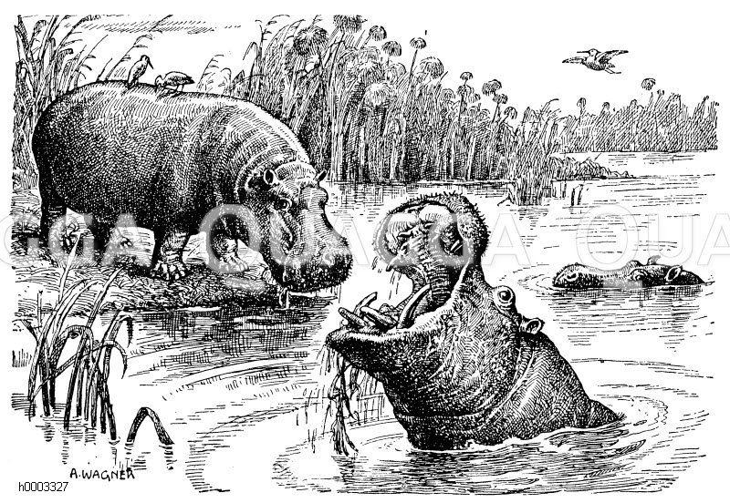 Flusspferd Zeichnung/Illustration