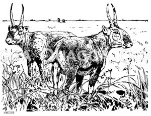 Saiga-Antilope Zeichnung/Illustration