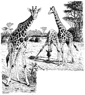 Giraffe Zeichnung/Illustration